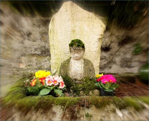 Primula Boeddha