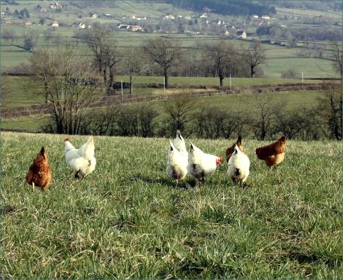kippenlandschap