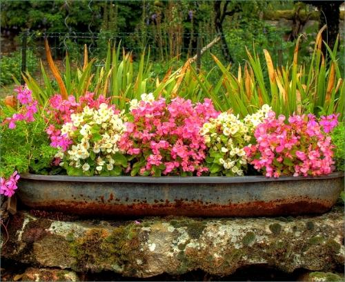 begonia's