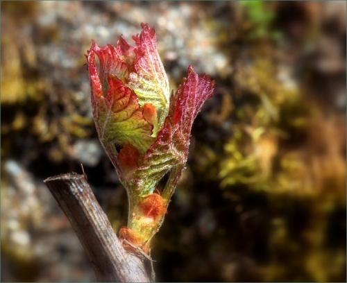 jong druivenblad