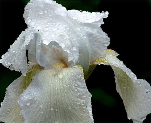 witte iris
