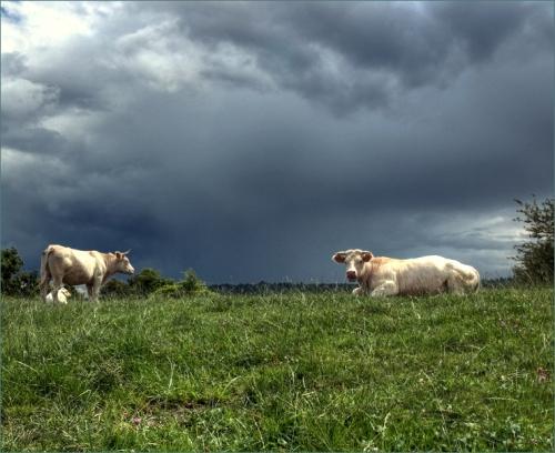 dreigende wolken koeien