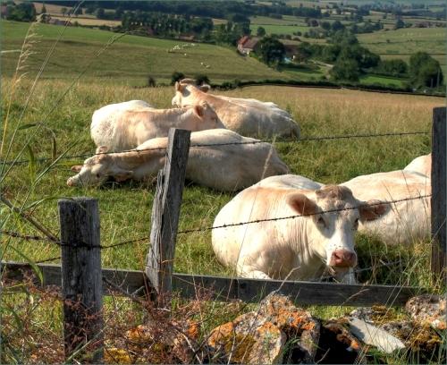 koeien rustmoment