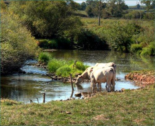 drinkende-koeien