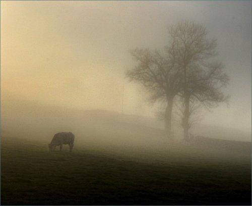 eenzame-koe-in-de-mist