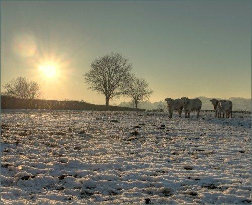 koeien-in-de-sneeuw